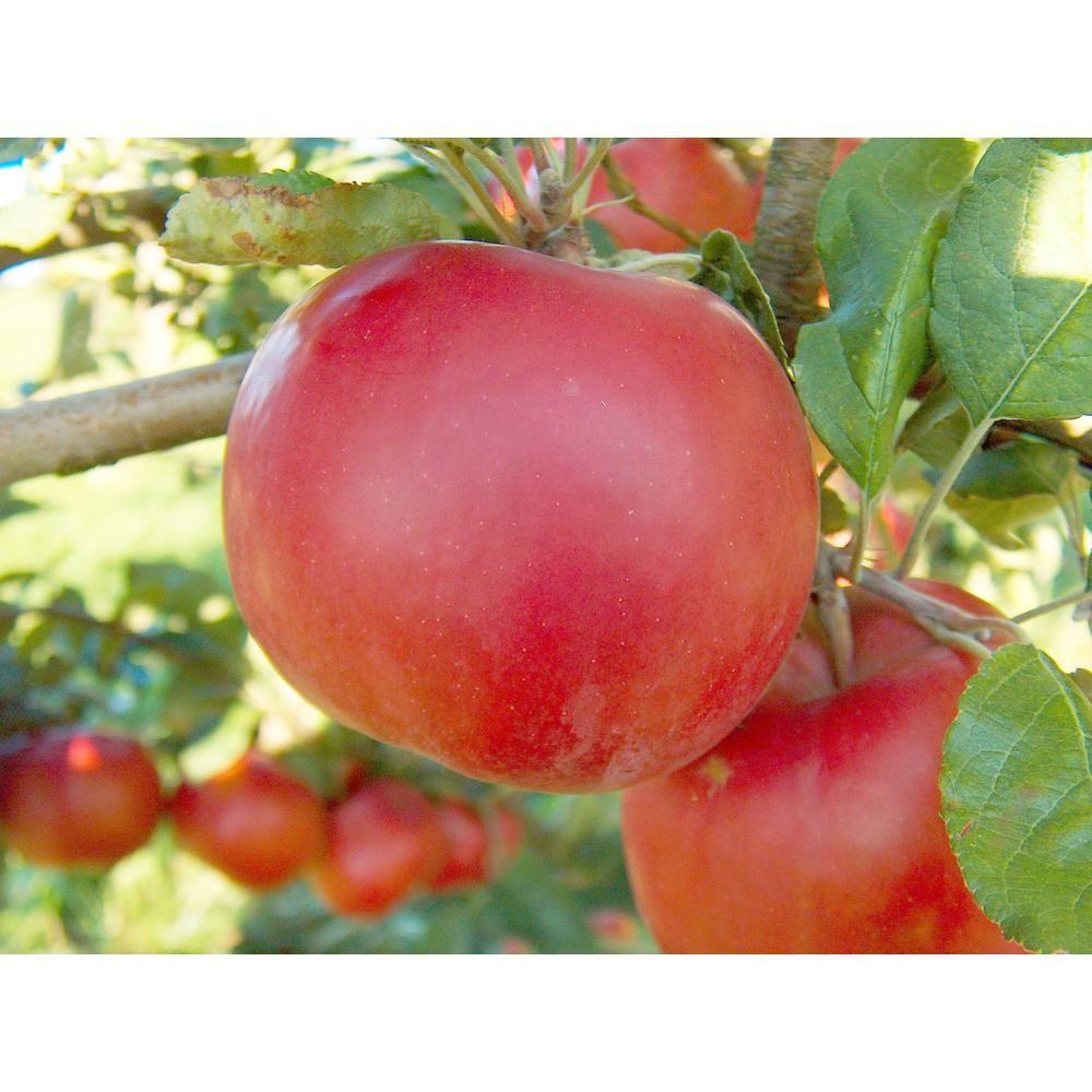 Online Orchards Dwarf Red Mcintosh Apple Tree Bare Root Ftap009 Apple Varieties Mcintosh Apples Fruit