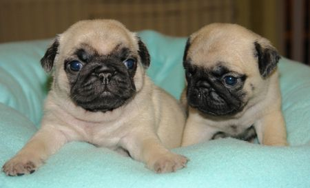Adorible Baby Pugs Most Popular Dog Breeds Pugs