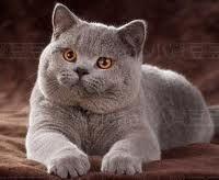 British Shorthair Lilac Cat Love American Shorthair Cat British Shorthair