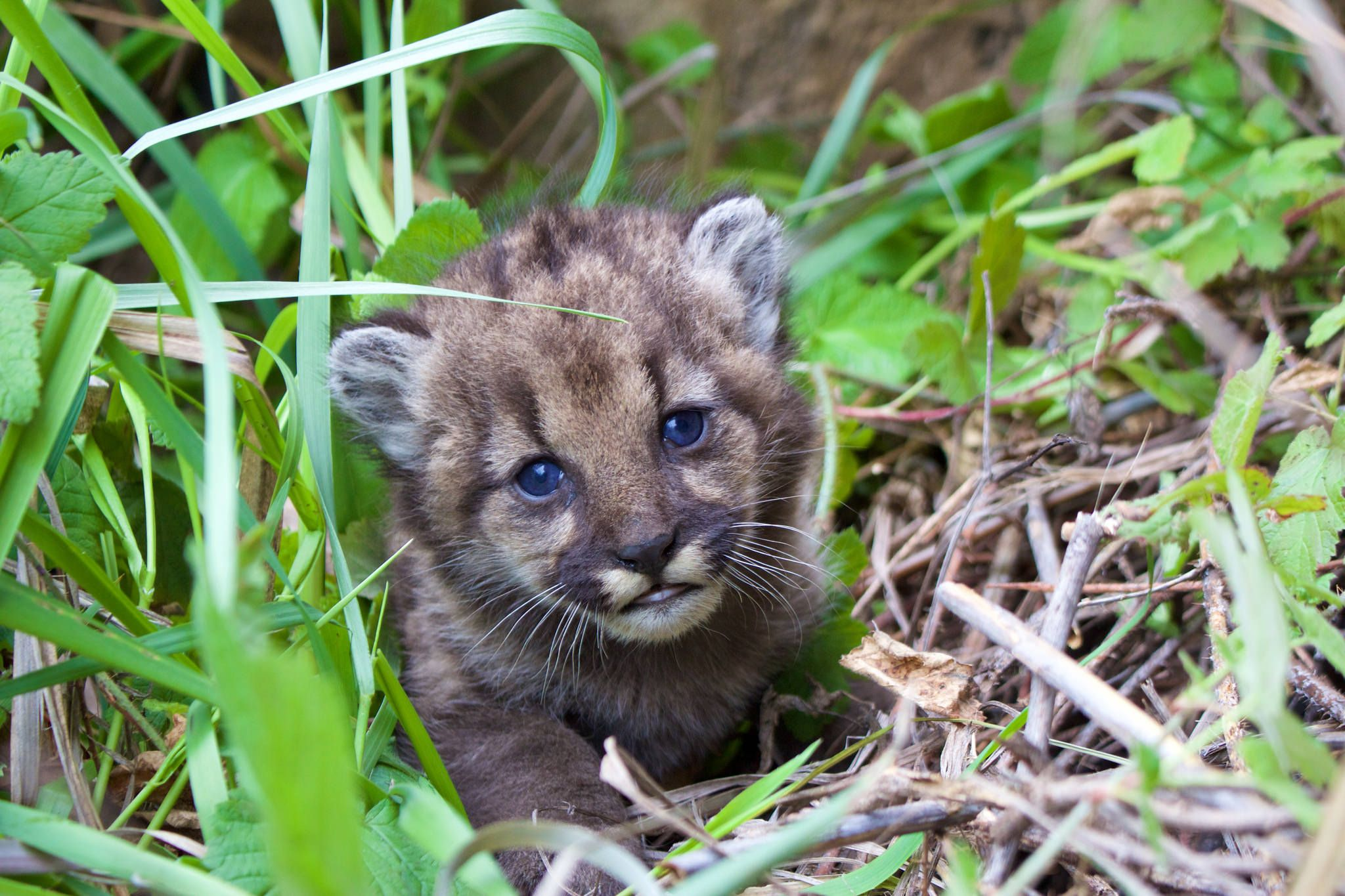 Hikers Film Tense Standoff With Mountain Lion Mountain Lion Kitten Animals