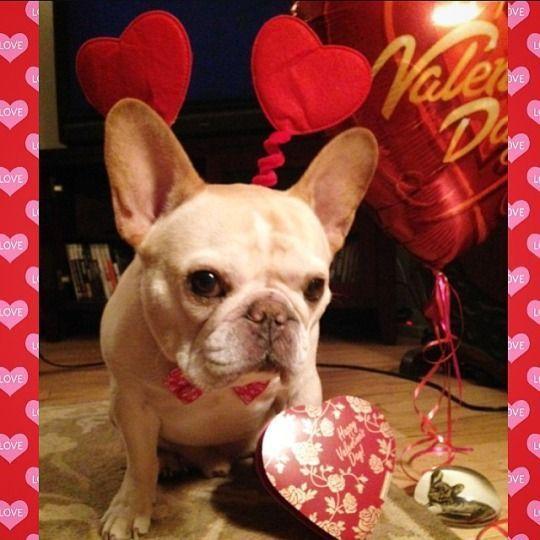 'Happy Valentines Day!', via the daily walter cronkite, French Bulldog. #walterthefrenchbulldog 'Happy Valentines Day!', via the daily walter cronkite, French Bulldog. #walterthefrenchbulldog 'Happy Valentines Day!', via the daily walter cronkite, French Bulldog. #walterthefrenchbulldog 'Happy Valentines Day!', via the daily walter cronkite, French Bulldog. #walterthefrenchbulldog