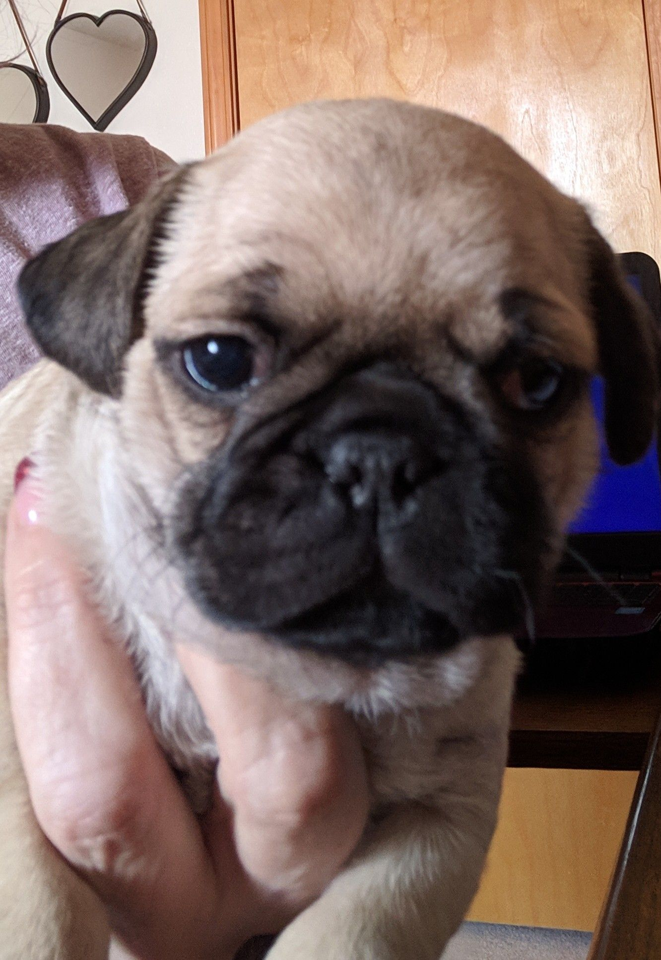 Otis Spunkmeyer a male ACA Pug puppy for sale in Buffalo
