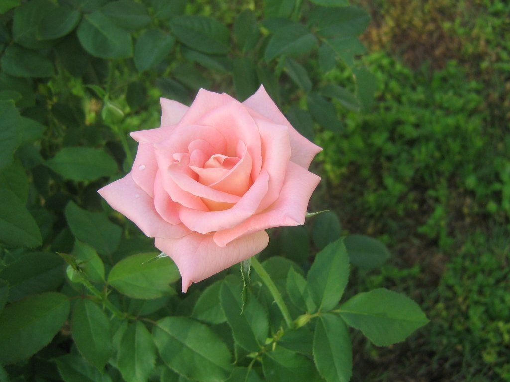 Pink Rose 4 Desktop Wallpaper 1024x768