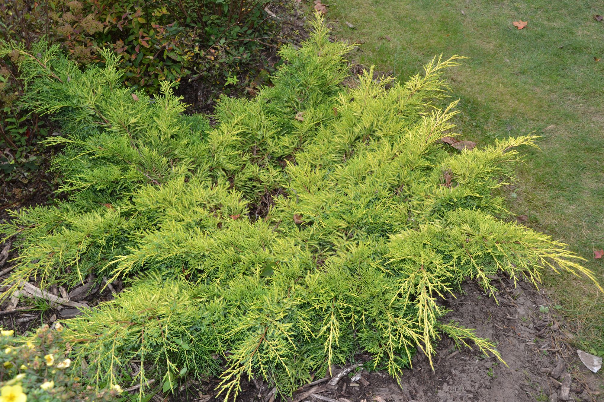 Juniperus x media gold star a low spreading shrub with bright juniperus x media gold star a low spreading shrub with bright golden summer reviewsmspy