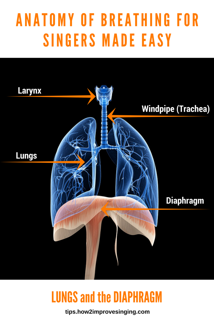 Anatomy of Breathing for Singers Made Easy Singing
