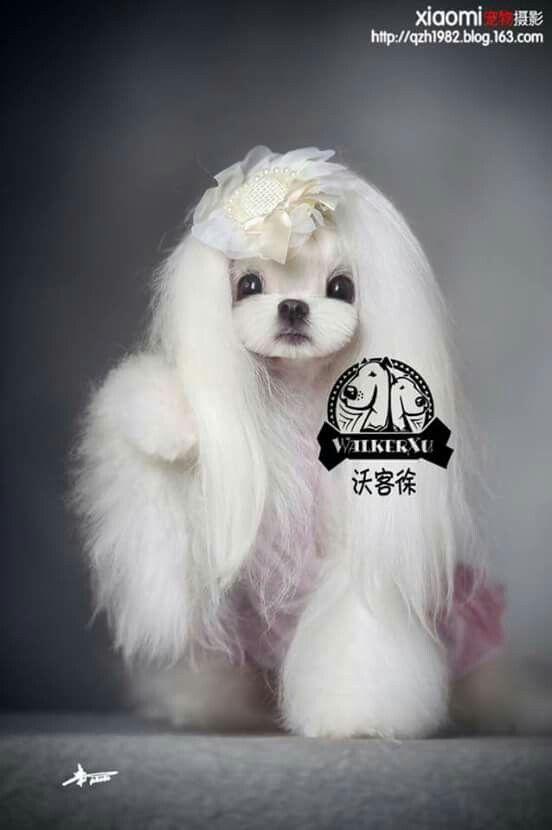 Corean dog grooming