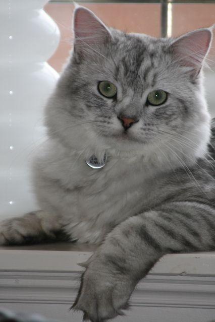 Pictures Of Siberian Cat Breed Cat Breeds Siberian Cat