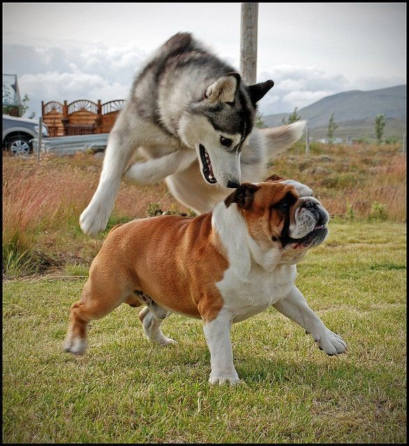 Siberian Husky And English Bulldog Playing How Saffron Came To