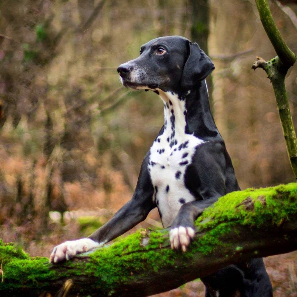 Dalmatian X Doberman Mix Domestic Dog Cute Animals Animals