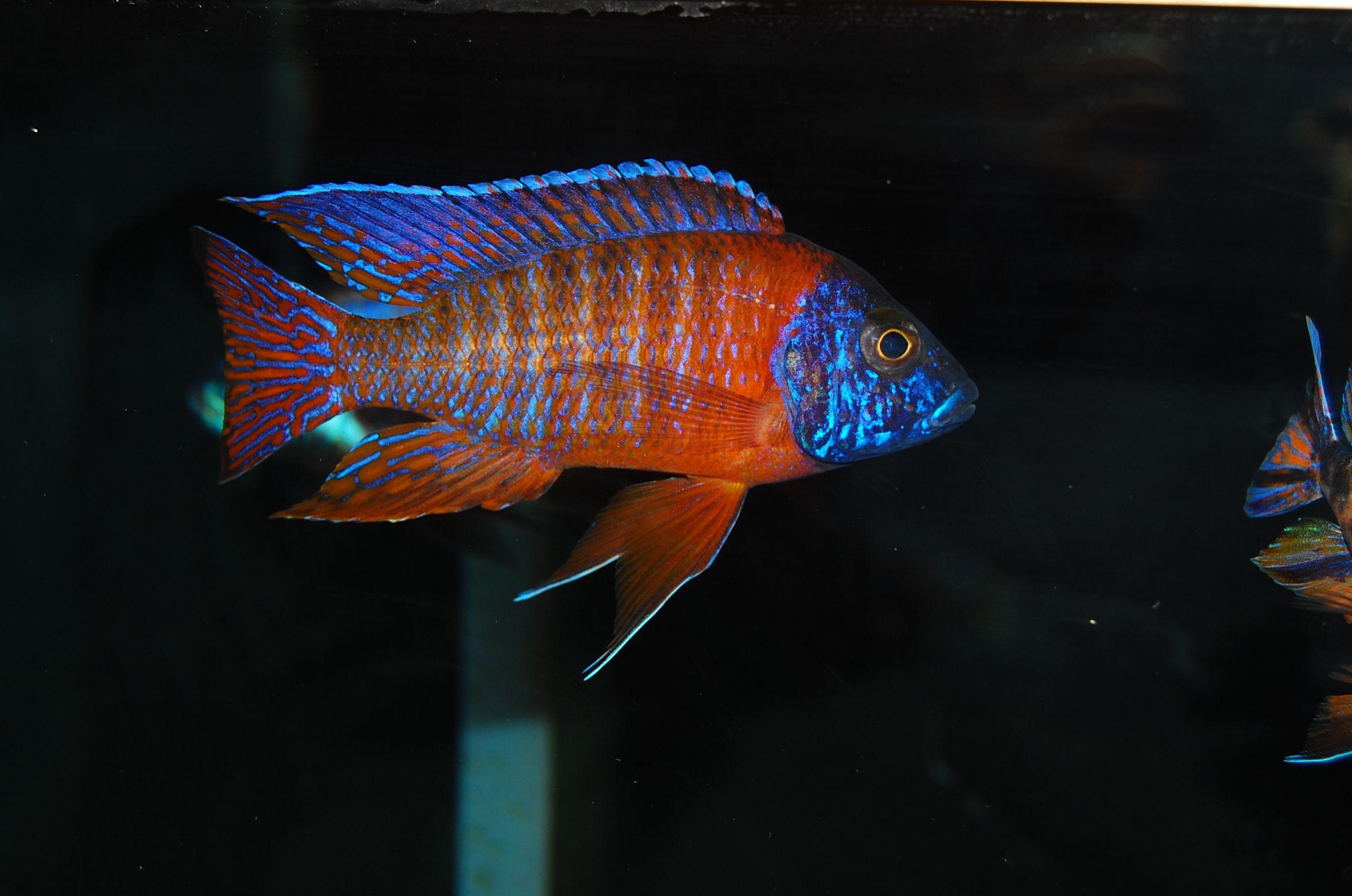Rubin Red Peacock Cichlid Tropische Vissen Vissen