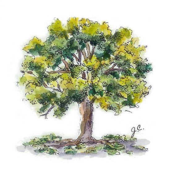Water color oak tree | Ink Ideas | Pinterest | Oak tree ...