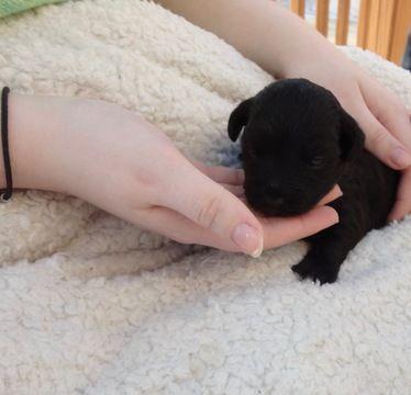 Litter Of 8 Yorkie Poo Puppies For Sale In Huntersville Nc Adn 23786 On Puppyfinder Com Gender Female Age 2 Yorkie Poo Puppies Yorkie Poo Puppies For Sale