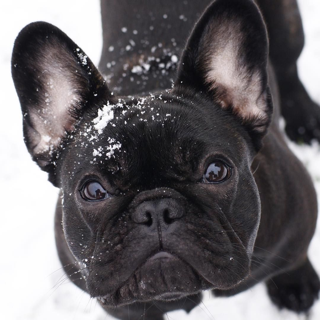 Cute Black French Bulldog French Bulldog Puppies Cute French