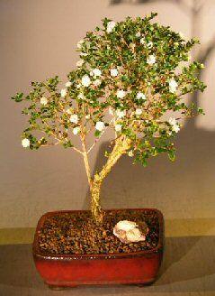 Flowering Snow Rose Serissa Bonsai Tree Extra Large Serissa Foetida Bonsai Tree Flowering Bonsai Tree Snow Rose