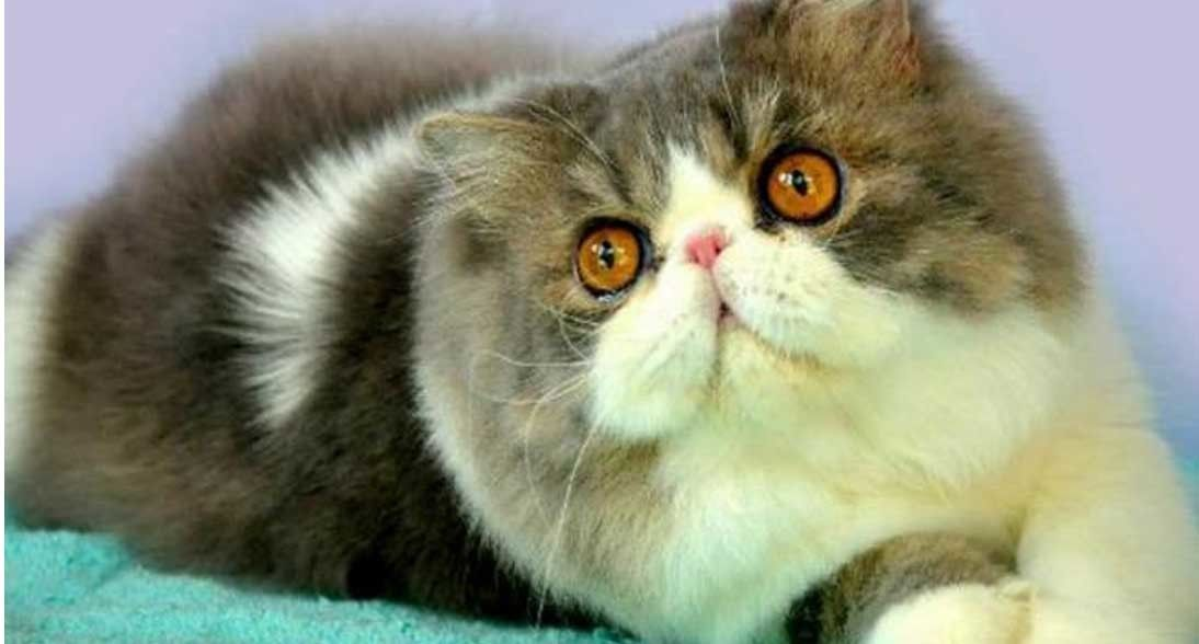 Kucing Persia Peaknose Adalah Jenis Kucing Persia Yang Wajahnya Datar Dan Hidungnya Pesek Sifatnya Sangat Pemalas Tapi Kucing Persia Kucing Menggambar Kucing