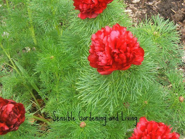 double-fern-peonypsensible-gardening.jpg