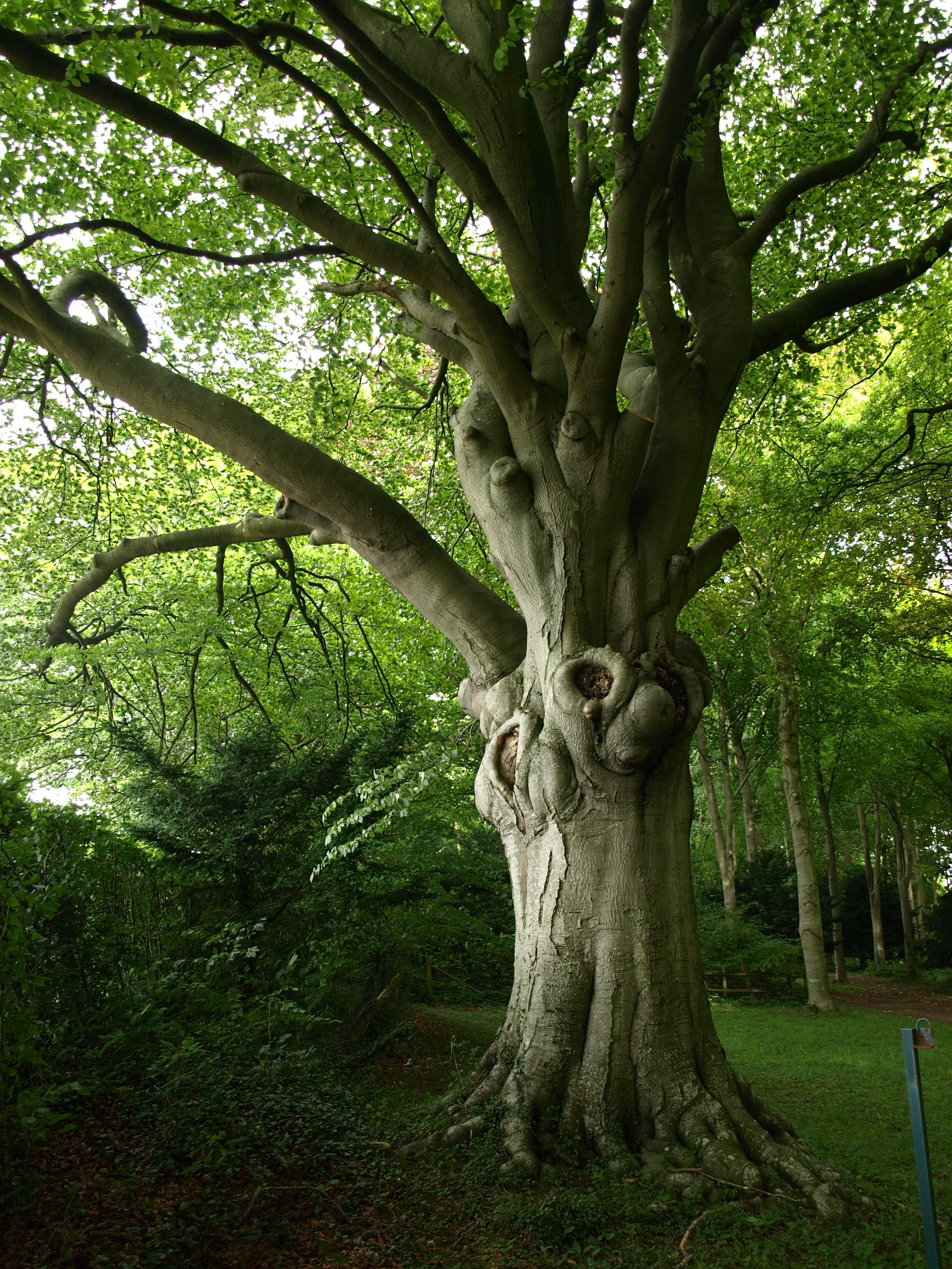 Typical beech (Fagus sylvatica) character.   Worshipful Trees ...
