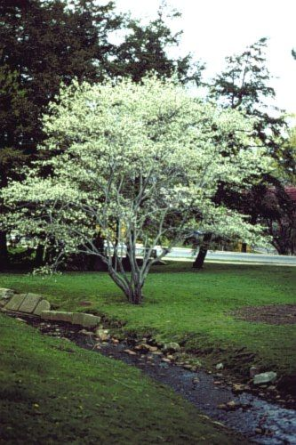 One of my favorites amelanchier canadensis serviceberry for Serviceberry tree