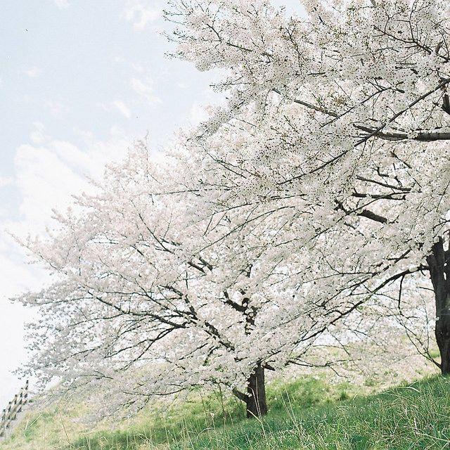 日本の春を楽しむ 016 by koion on Flickr.