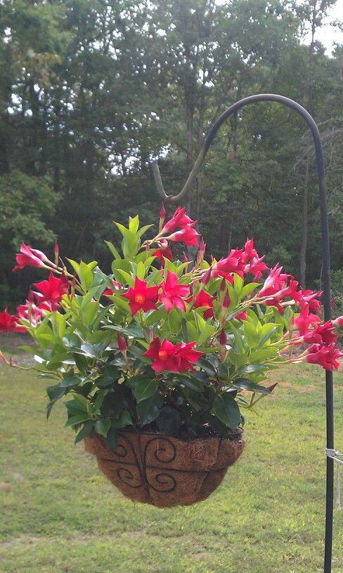 Dipladenia Attracted Hummingbirds All Summer Long Container Gardening Flowers Hanging Plants Patio Flowers