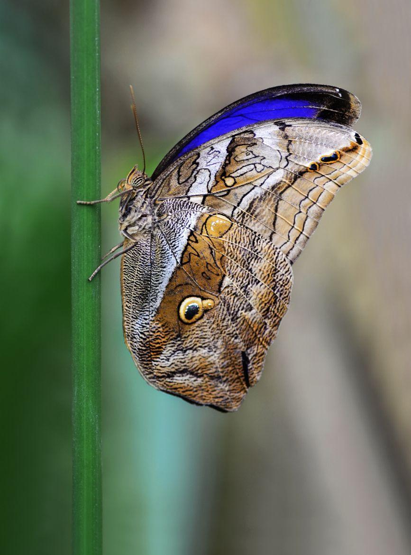 Photograph Owl butterfly Caligo by Mustafa Öztürk on 500px