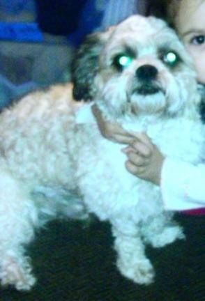 Lost Ontario Ca J St Benson Ave White Brown Shih Tzu Bruno Call 9094893293 Or Email Foolish1bgz Hotmail Com If See Losing A Dog Your Dog Police Canine
