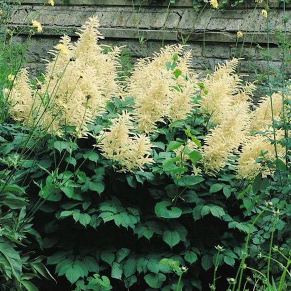 Goat S Beard Aruncus Dioicus Perennial Flower Seeds Flowers Perennials Tall Perennial Flowers Shade Loving Shrubs