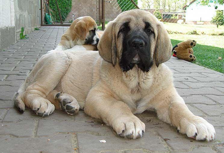 Spanish Mastiff I Need This With