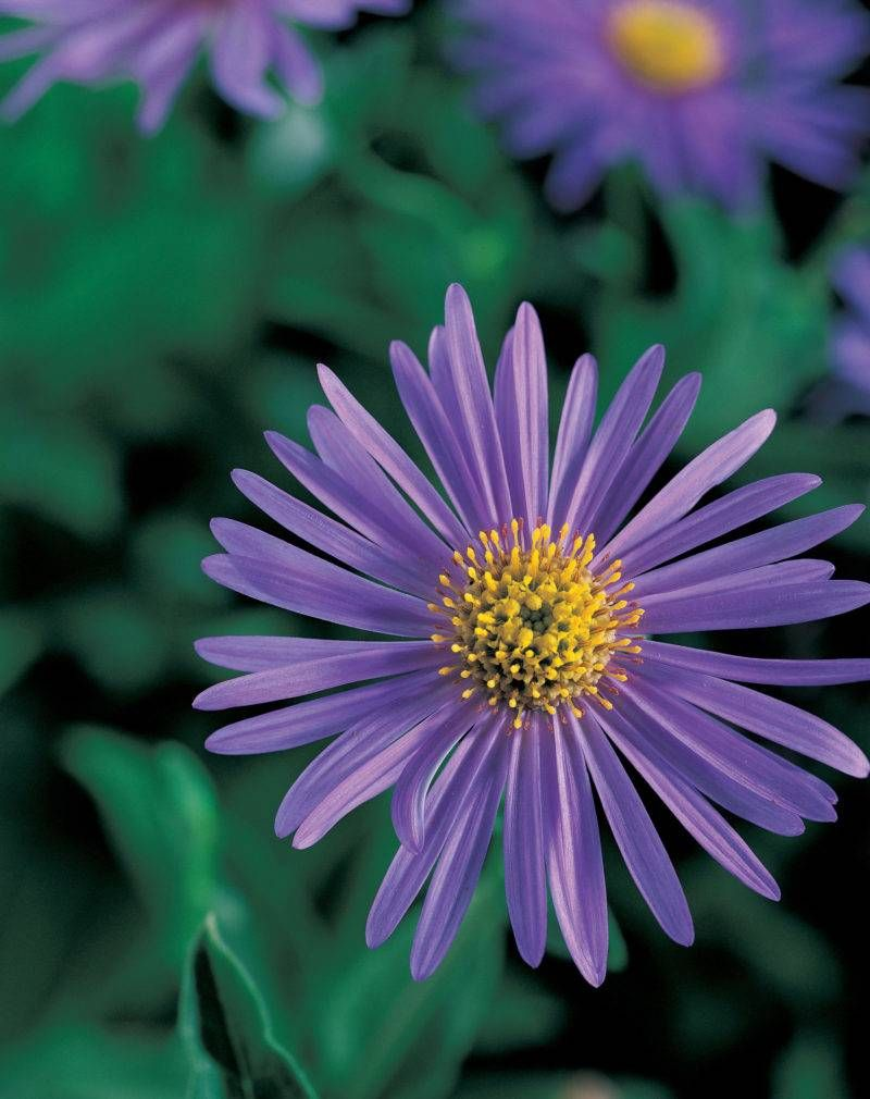 Your Guide To Aster X Frikartii Aster Flower Low Maintenance Landscaping Aster