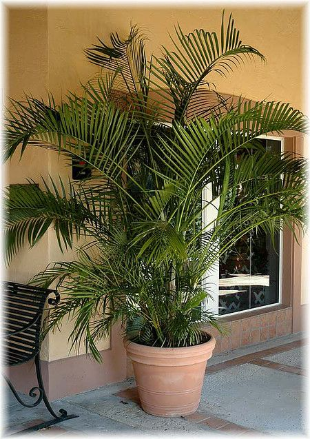 schmetterlings palme areca palme chrysalidocarpus lutescens im mein sch ner garten shop mein. Black Bedroom Furniture Sets. Home Design Ideas