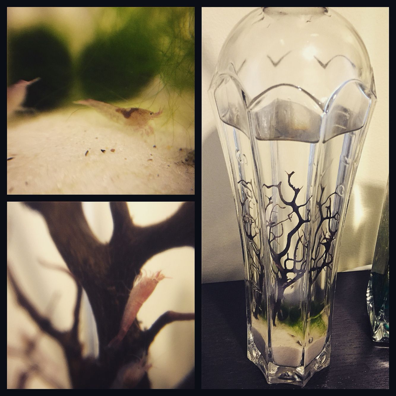 Ecosphere marketing materials chikaboo designs - Diy Closed Ecosystem Made Using A St Germain Bottle Opae Ula Shrimp Same