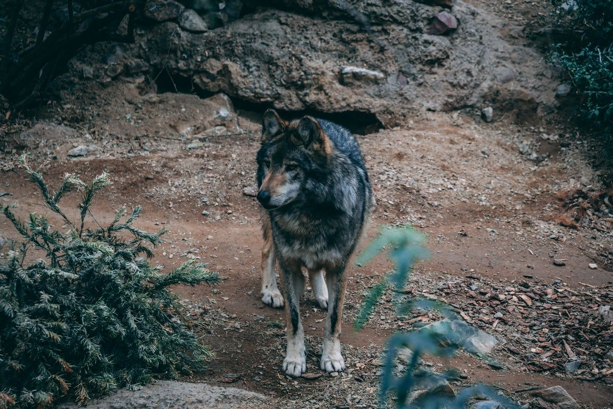 Wolfs Pictures Download Free Images On Unsplash Volk
