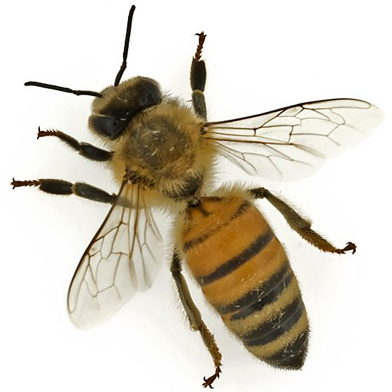 Honey bee - Apis mellifera | science | Pinterest | Bees ...