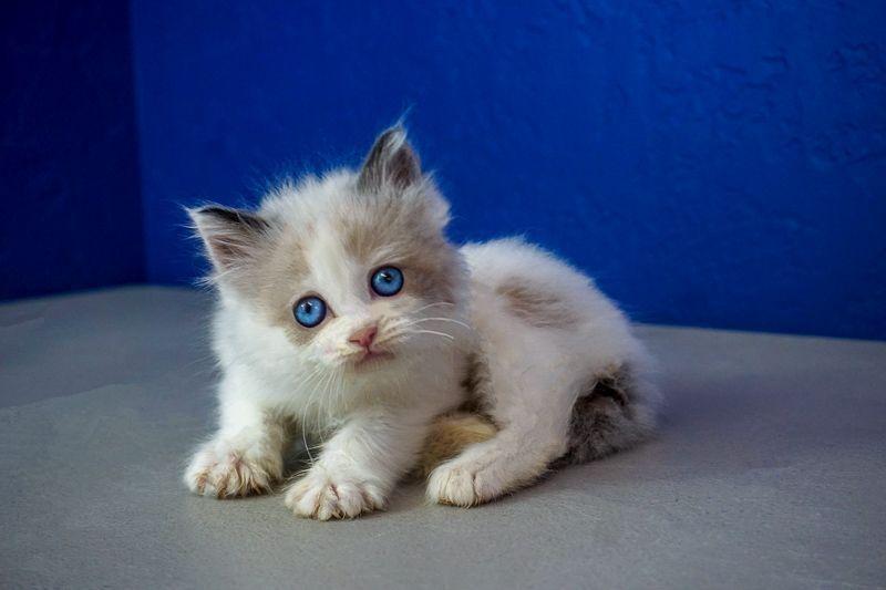 Ragdoll Kittens Kitten Sale Near For Buy Meragdoll Kittens For Sale Near Me Buy Ragdoll Kitten Ragdollk Ragdoll Kitten Kittens Near Me Teacup Kitten