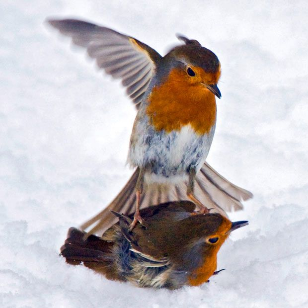 European robins