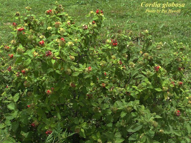 Cordia globosa. Bloodberry, Curacao bush. Shrub that acts as vine ...