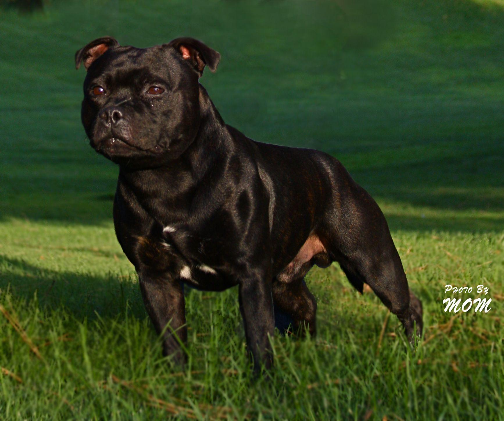 Pin Von Klaus Auf English Staffordshire Terrier Rassen