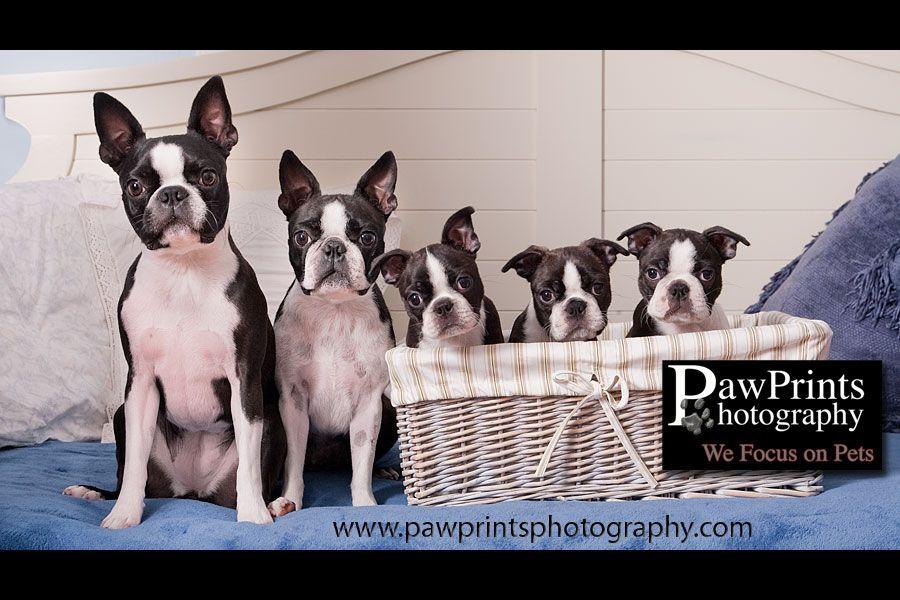 Boston Terrier Family In Basket Boston Terrier Boston Terrier