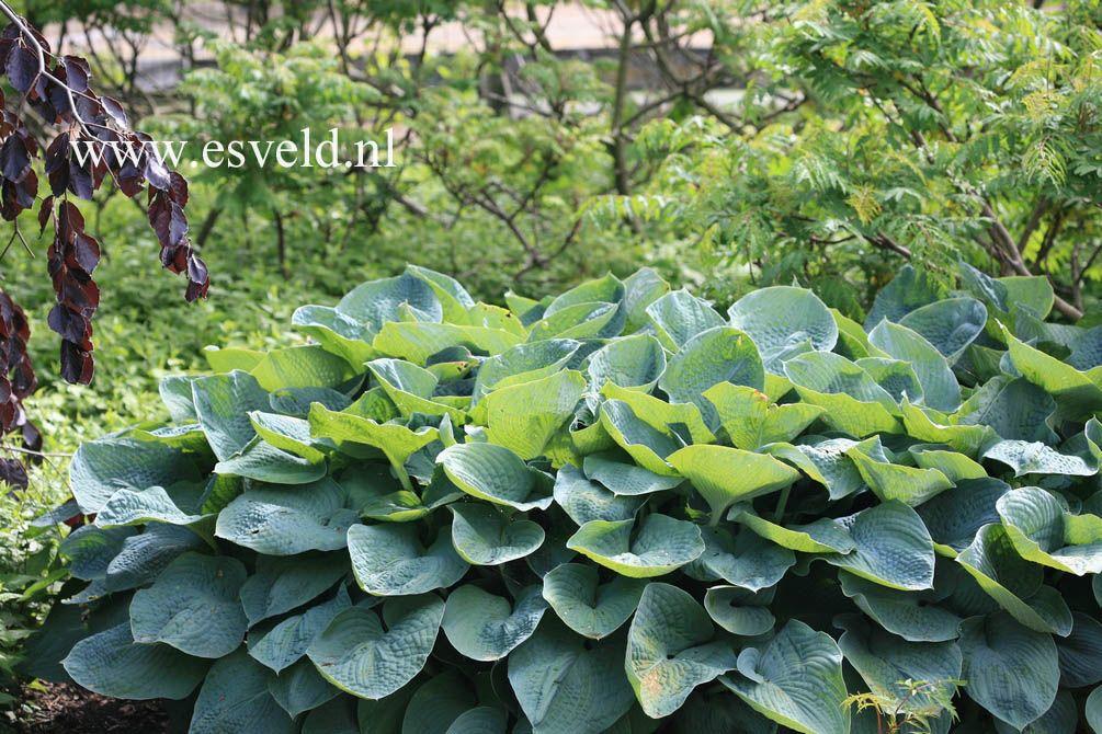 hosta sieboldiana 39 elegans 39 tuin pinterest hosta. Black Bedroom Furniture Sets. Home Design Ideas