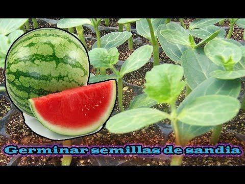 Como germinar semillas de sandía en casa (metodo fácil casero) - YouTube