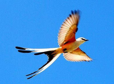 oklahoma state bird amazing picture of scissor tailed flycatcher