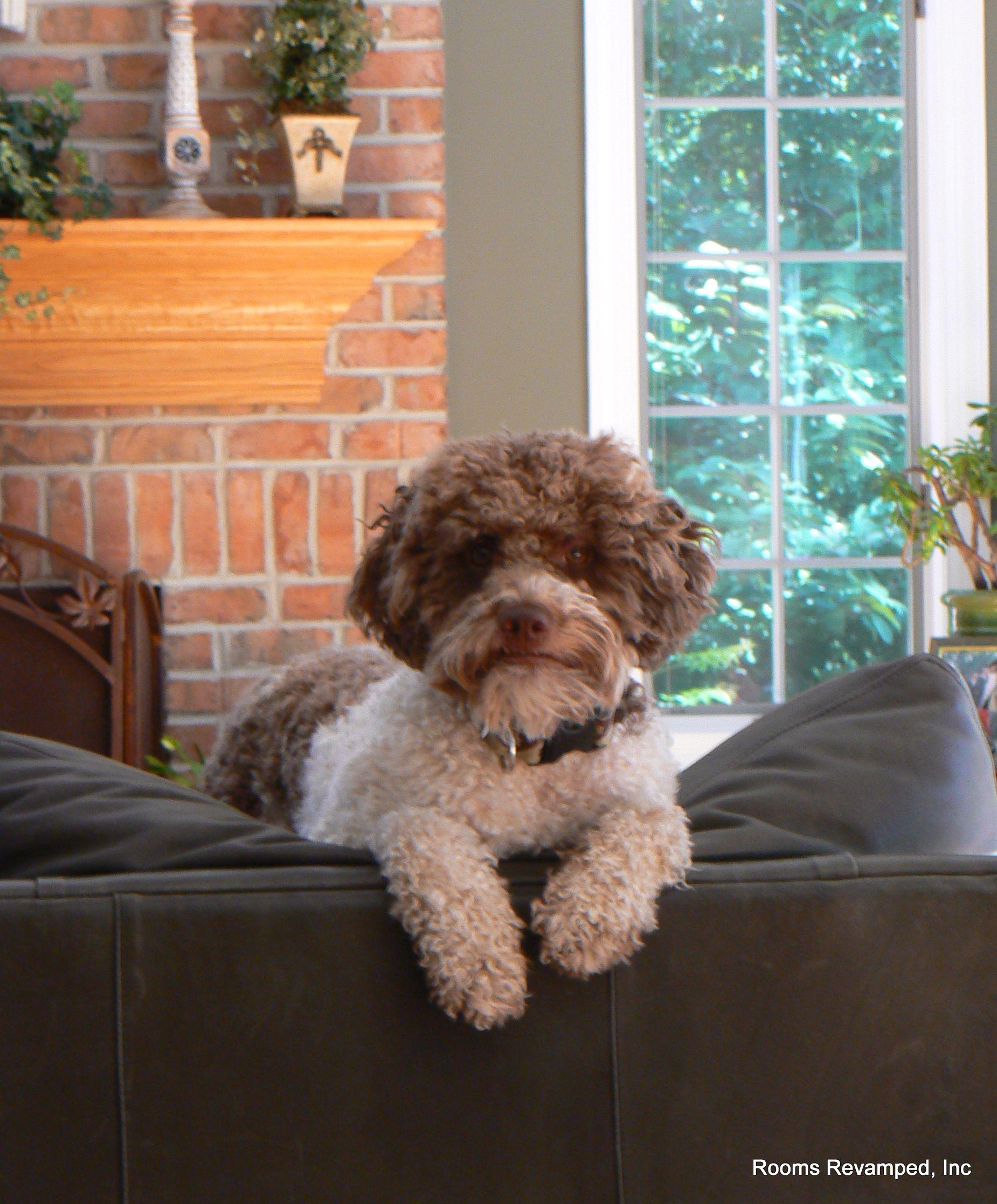 Lagotto Truffle Dogs: Bruno. Our Puppy.... Lagotto, Italian Water Dog