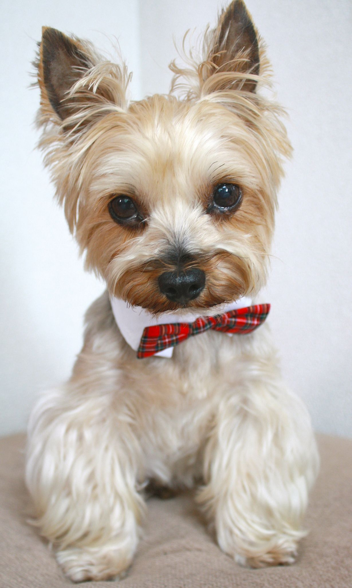 Img_3498 with images yorkie lovers cute cats and dogs