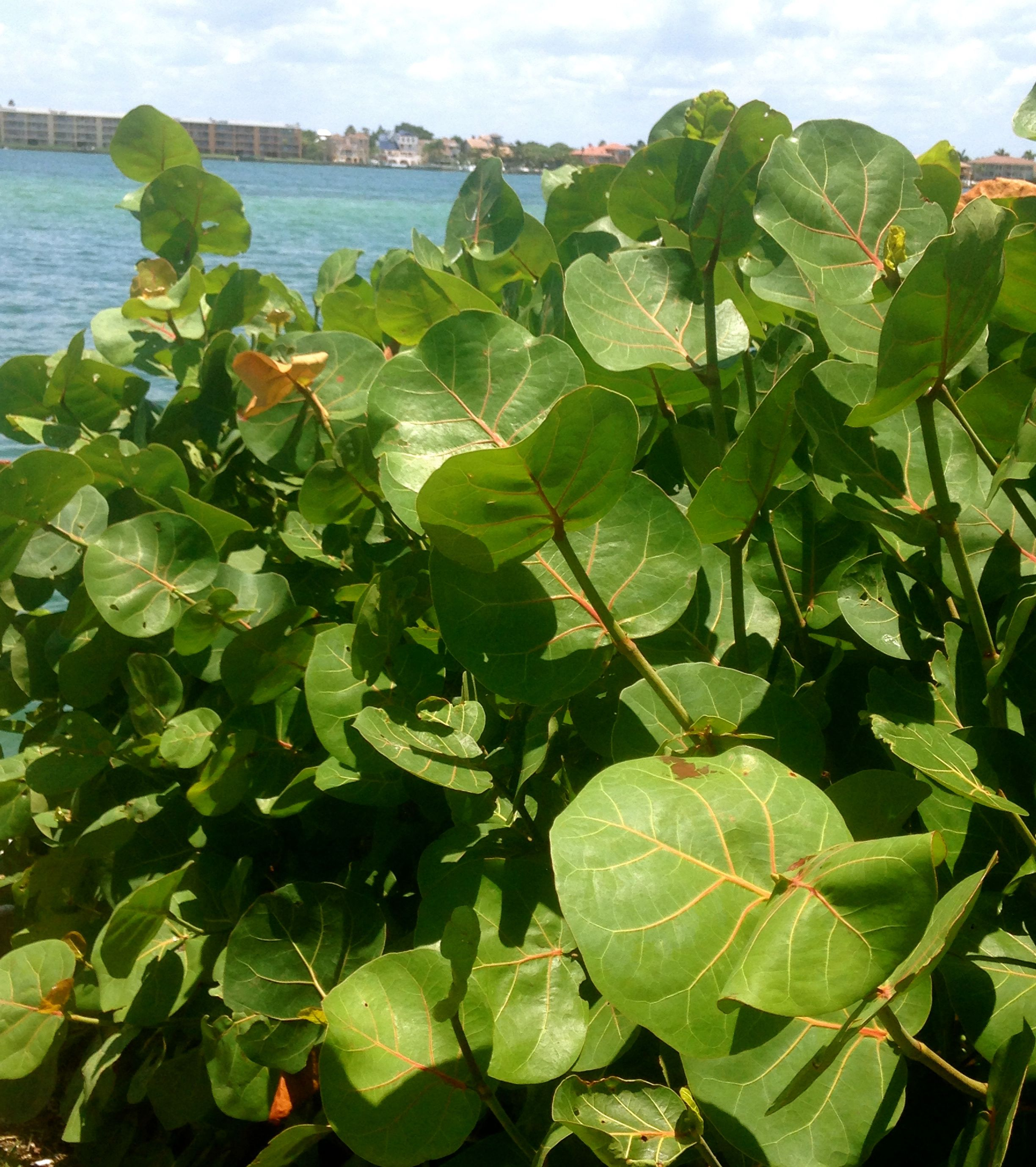 Sea grape is a hardy shrub that tolerates wind sun sand for Hardy low maintenance shrubs