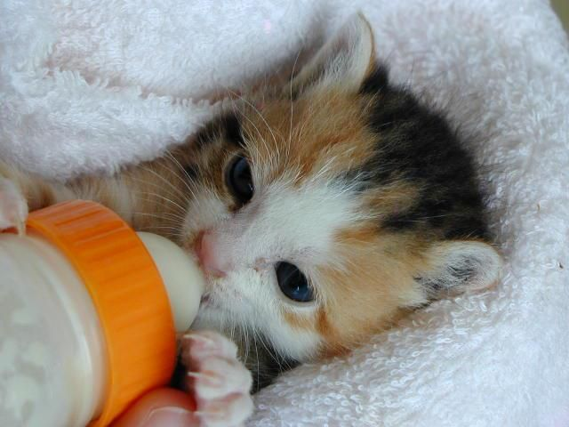 Tiny Calico Kitten With Her Bottle Cutest Kittens Ever Kittens Cutest Baby Cats