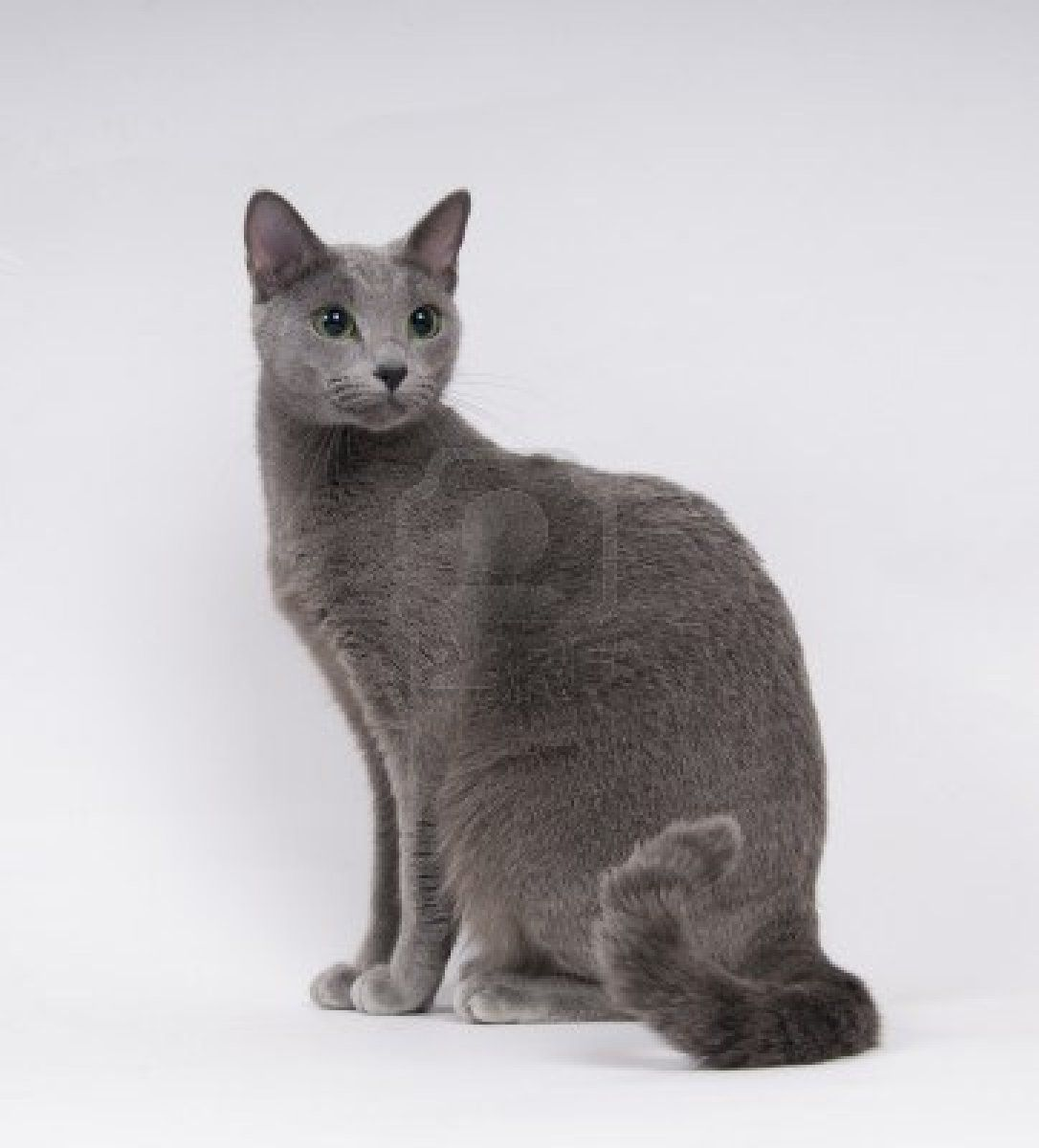 russian blue cat Beautiful Cats Pinterest