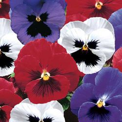 Hardy Pansies Red White Blue Full To Partial Shade Pansies Bleeding Heart Pansy Garden