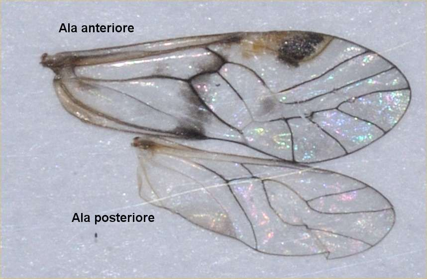 Risultati immagini per ali d'insetto