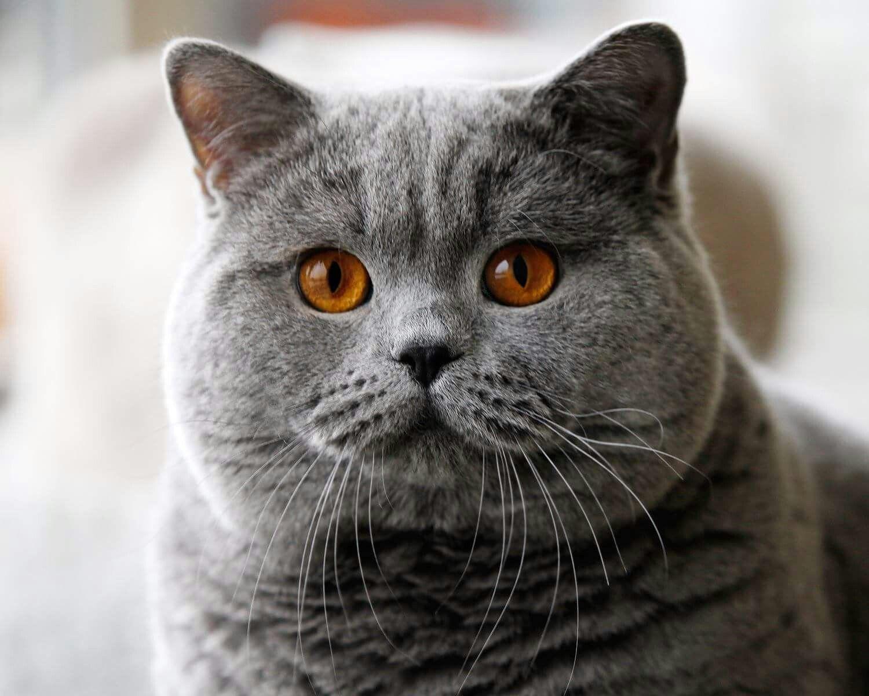 Фото крупным планом коты британцы