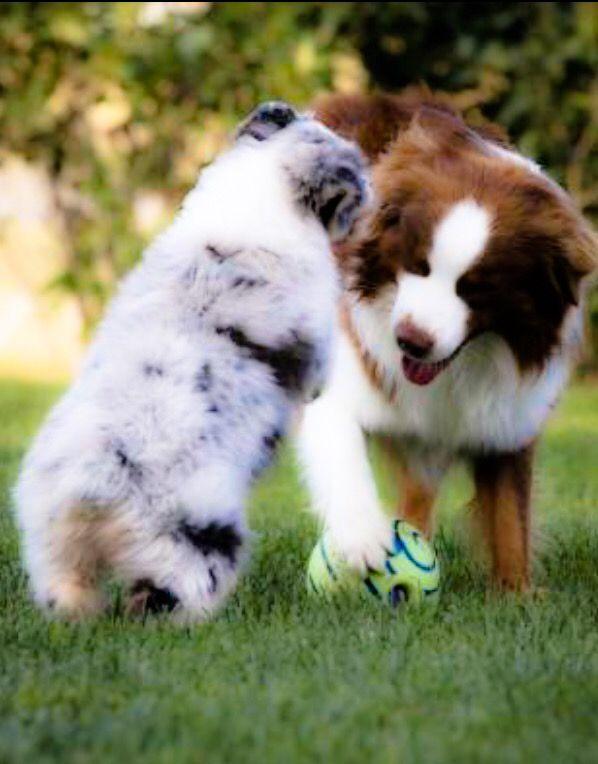 Blue Merle And Red Bi ʀᴏᴄᴋɪɴɢᴠᴀᴜssɪᴇs Dog Rules Australian Shepherd Fur Babies